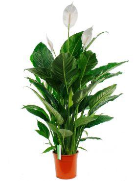 Spathiphyllum Sweet Sebastiano
