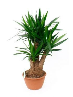 yucca palme palmlilie pflege 123zimmerpflanzen. Black Bedroom Furniture Sets. Home Design Ideas