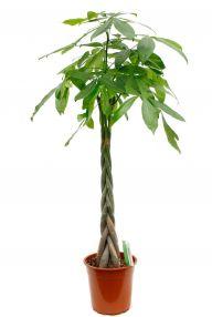 pachira gl ckskastanie kaufen 123zimmerpflanzen. Black Bedroom Furniture Sets. Home Design Ideas