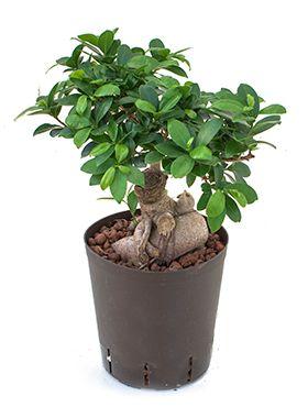 Ficus micr. ginseng 500 gram