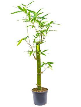 Bambusa Vulgaris Green Zimmerpflanze Von 180 Cm Kaufen