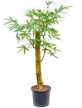 Bambusa Vulgaris Zimmerpflanze Von 180 Cm Kaufen 123zimmerpflanzen
