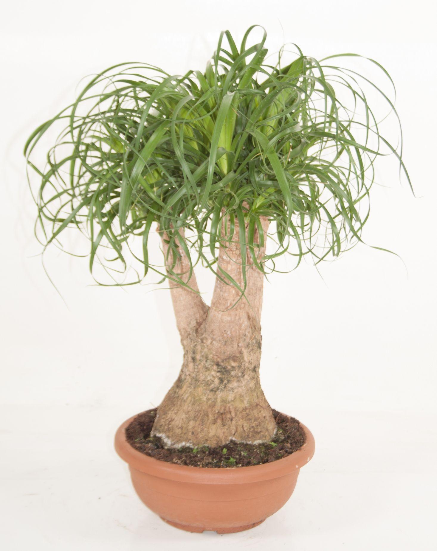 beaucarnea recurvata zimmerpflanze von 70 cm kaufen 123zimmerpflanzen. Black Bedroom Furniture Sets. Home Design Ideas