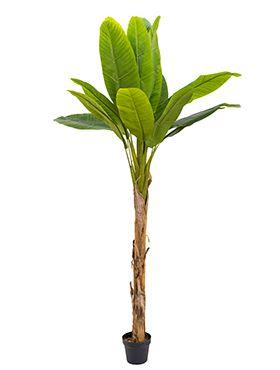 Banana Tree 123zimmerpflanzen