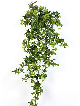 Star ivy