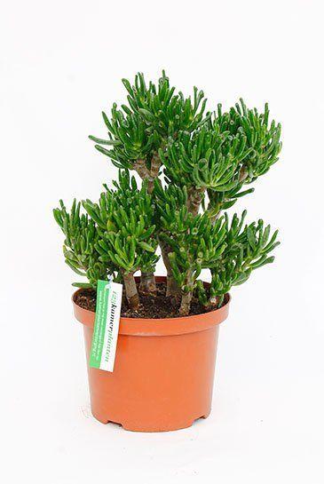 Crassula horntree