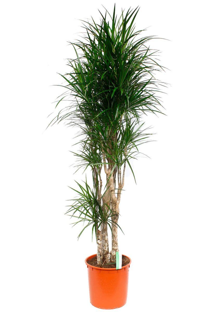 Dracaena Marginata Zimmerpflanze Von 180 Cm Kaufen 123zimmerpflanzen