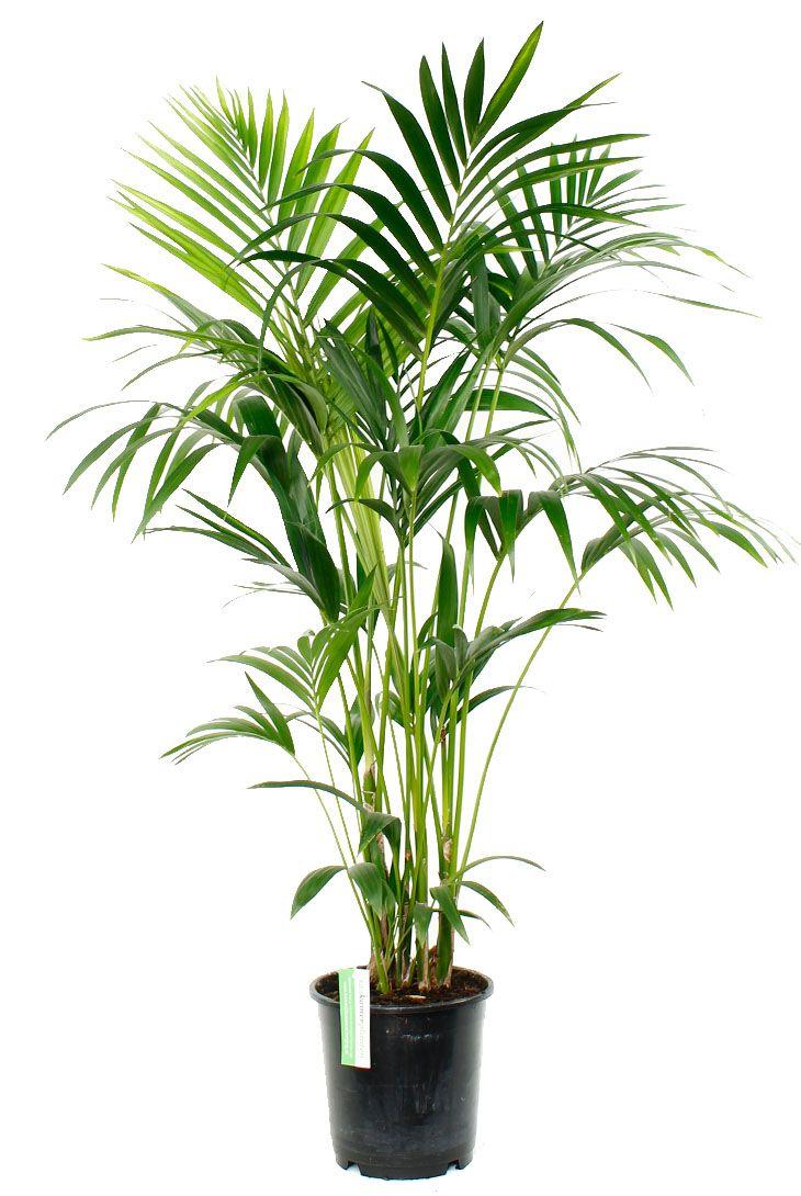 Mooie kentia palm kopen