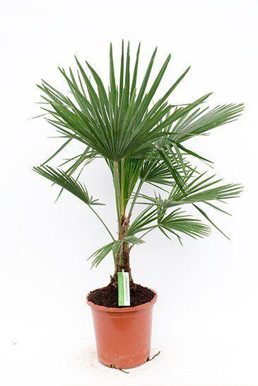 Trachycarpus Fortunei Zimmerpflanze Von 120 Cm Kaufen