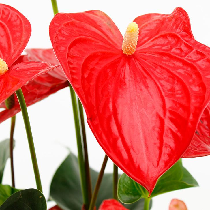 Zimmerpflanzen Lexikon - 123zimmerpflanzen