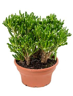 Bevorzugt Sukkulenten & Fettpflanzen kaufen? - 123zimmerpflanzen EL59