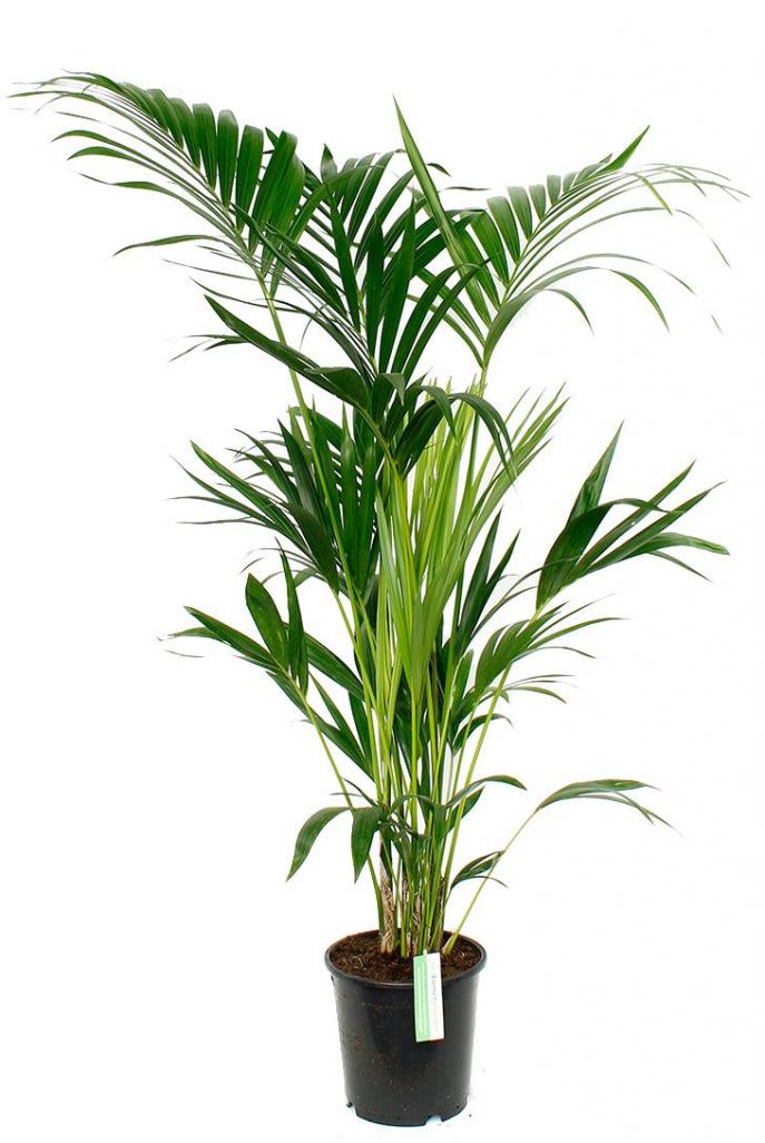 Kentia palme