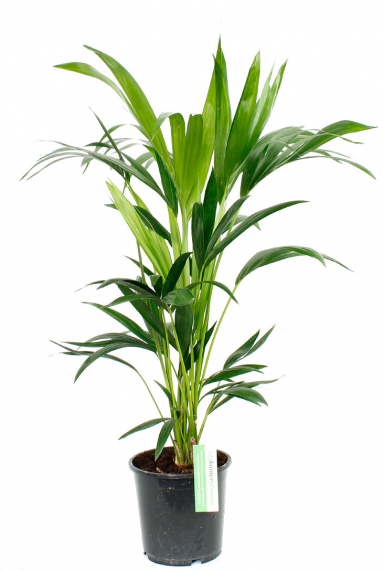 Palmen kaufen? - 123zimmerpflanzen