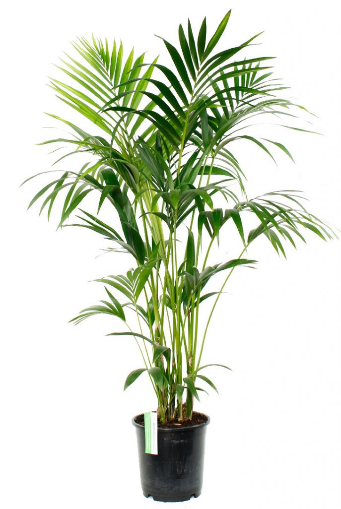 Palmen als Zimmerpflanzen - frux