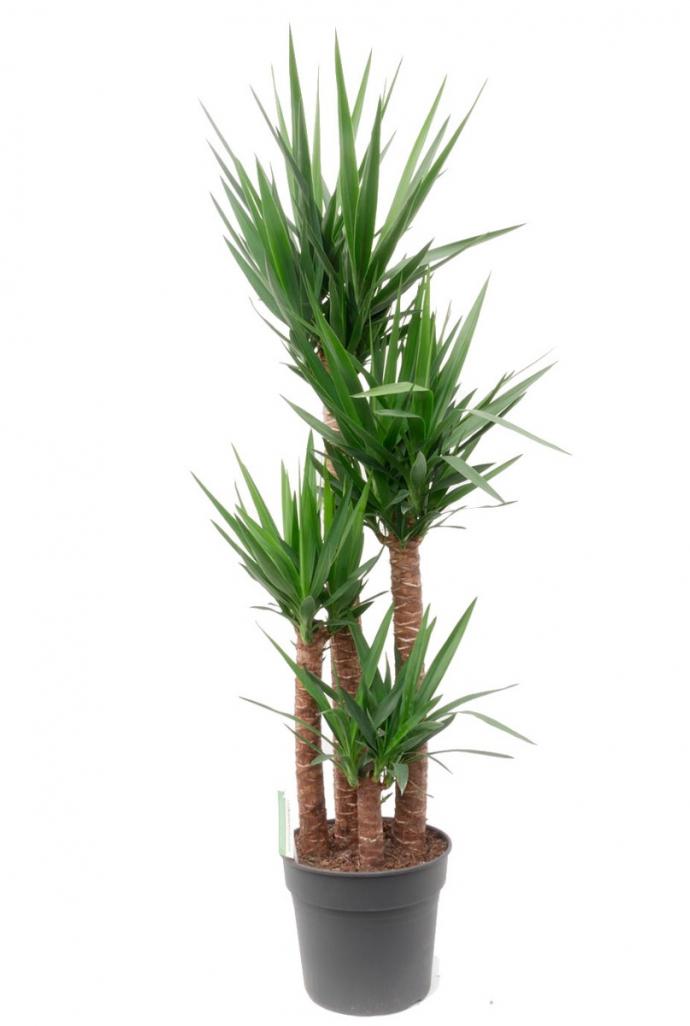 Gut gemocht Yucca Elephantipes Zimmerpflanze von 180 cm kaufen QD35