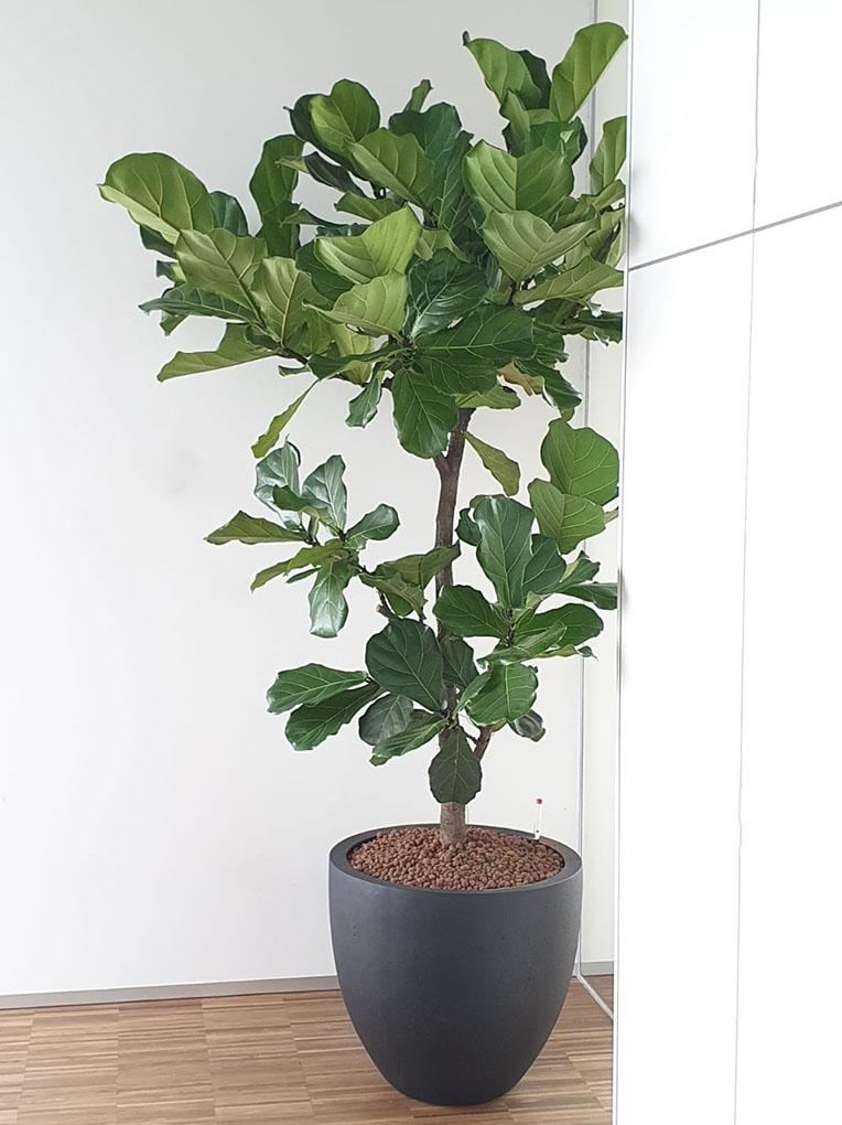 Ficus für das Büro