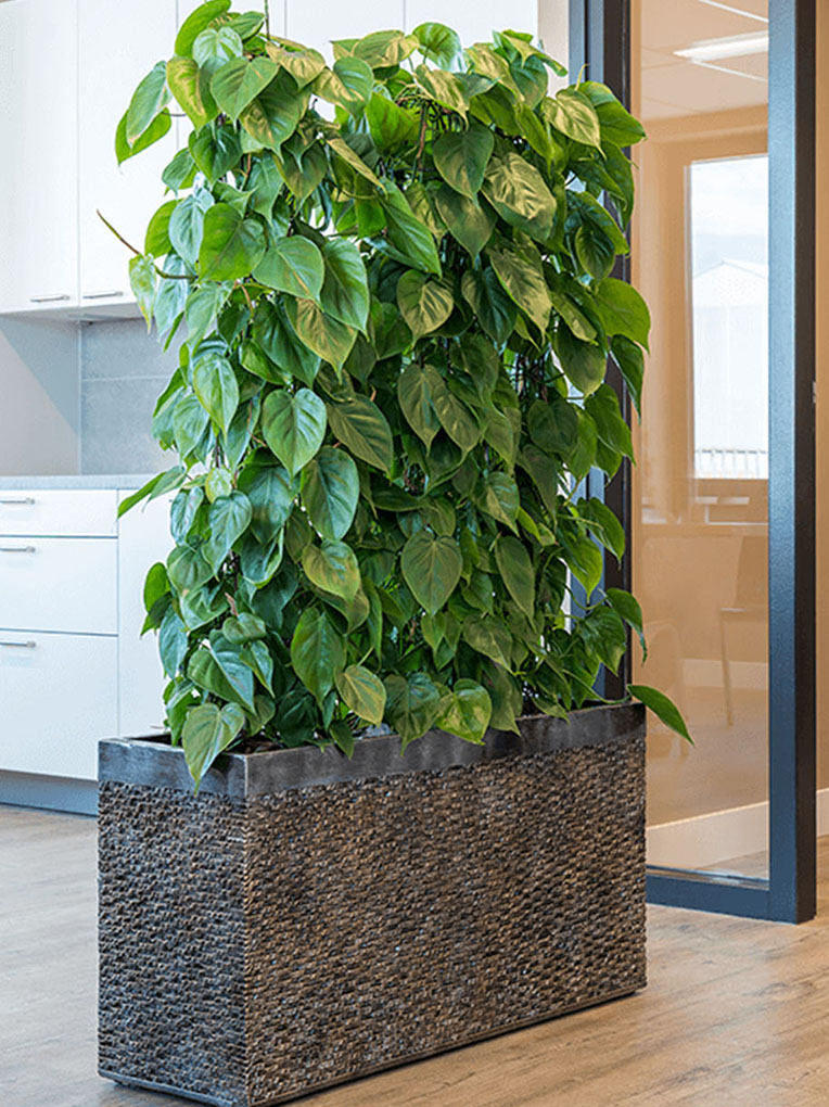 Philodendron für das Büro