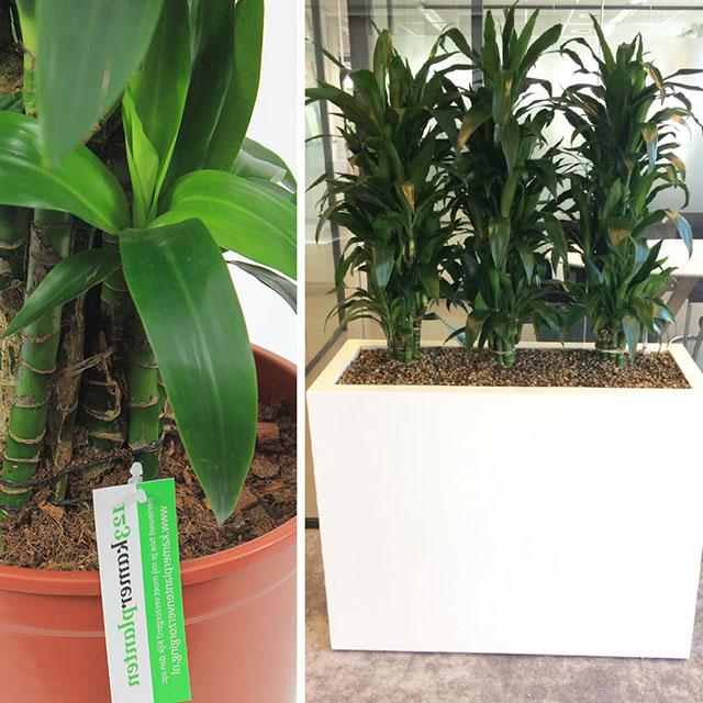 Büro-Bodenpflanzen