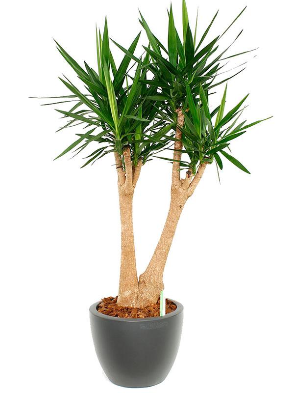 Yucca für das Büro