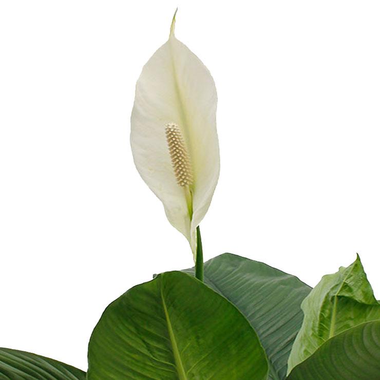 Spathiphyllum kaufen