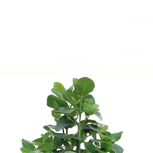 Zimmerpflanzen 90 - 120 cm