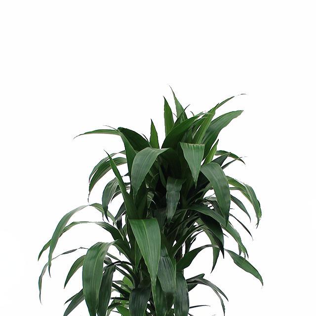 Hydrokultur 120 - 150 cm