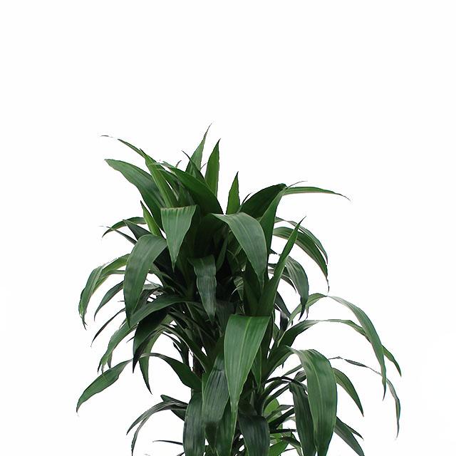 Fabelhaft Große Zimmerpflanzen kaufen - 123zimmerpflanzen #EV_83