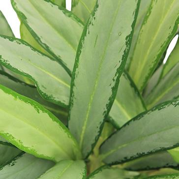Pflegeleichte Zimmerpflanzen Aglaonema