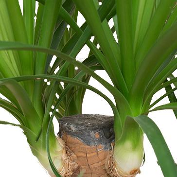 Beaucarnea (Elefantenfuß) Schöne grüne Zimmerpflanzen