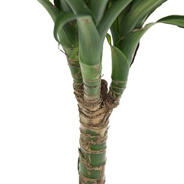 Grüne Zimmerpflanze Dracaena kaufen