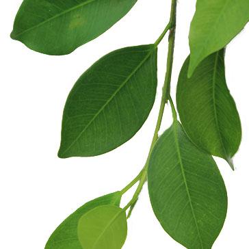 Grüne Zimmerpflanze Ficus kaufen