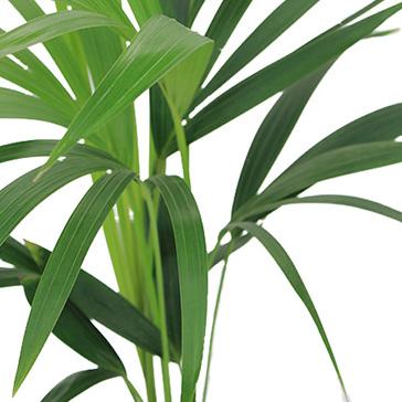 Grüne Zimmerpflanze Kentia kaufen
