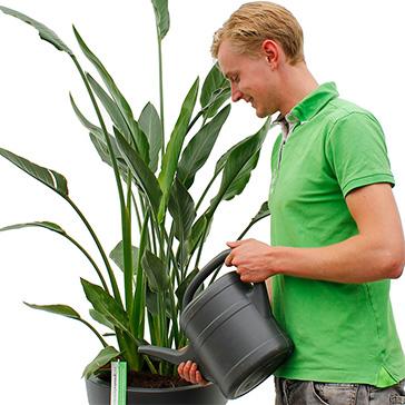 Grüne Zimmerpflanze Pflege giessen