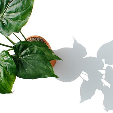 Grüne Zimmerpflanze Pflege lichtbedarf