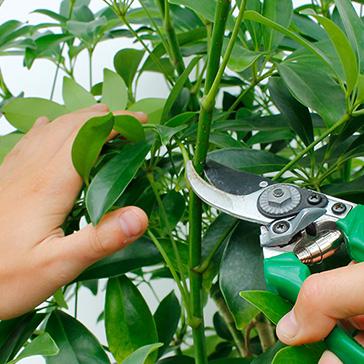 Grüne Zimmerpflanze Pflege schneiden