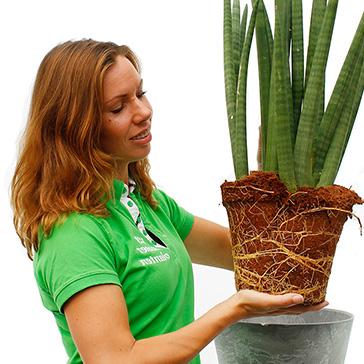 Grüne Zimmerpflanze Pflege Umtopfen