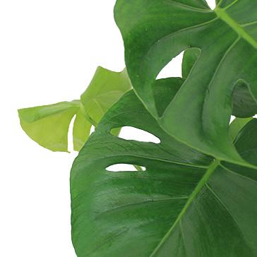 Grüne Zimmerpflanze Philodendron kaufen
