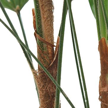 Pflegeleichte Zimmerpflanzen Rhapis