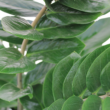 Pflegeleichte Zimmerpflanzen Zamioculcas