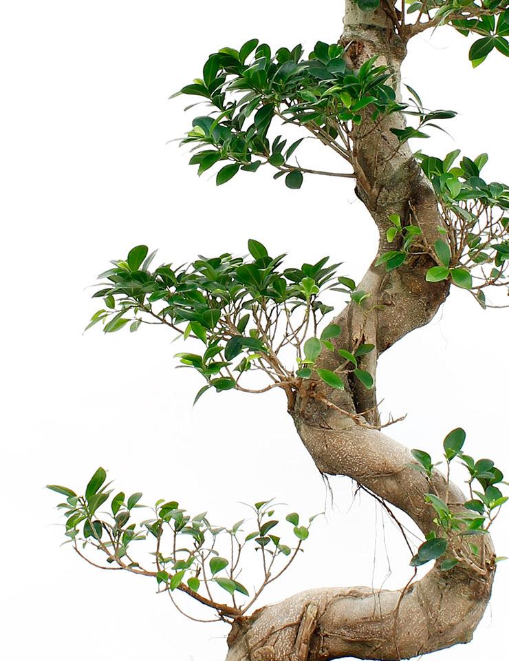 Ficus Microcarpa Sortiment