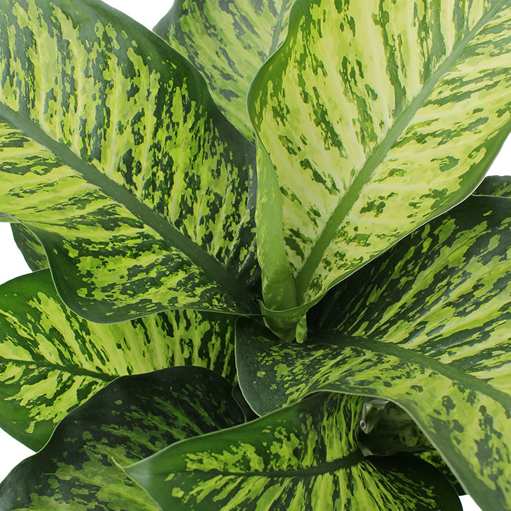 Zimmerpflanzen Mit Grosse Blatter Kaufen 123zimmerpflanzen