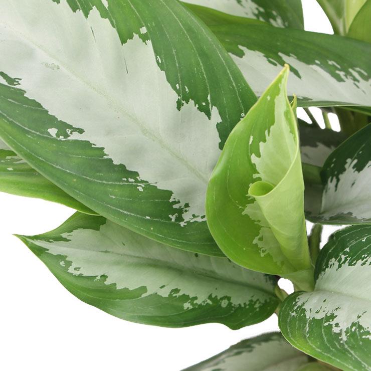 zimmerpflanzen mit gro e bl tter kaufen 123zimmerpflanzen. Black Bedroom Furniture Sets. Home Design Ideas