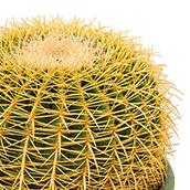 Zimmerpflanzen geeignet f r in die volle sonne - Kaktus zimmerpflanze ...