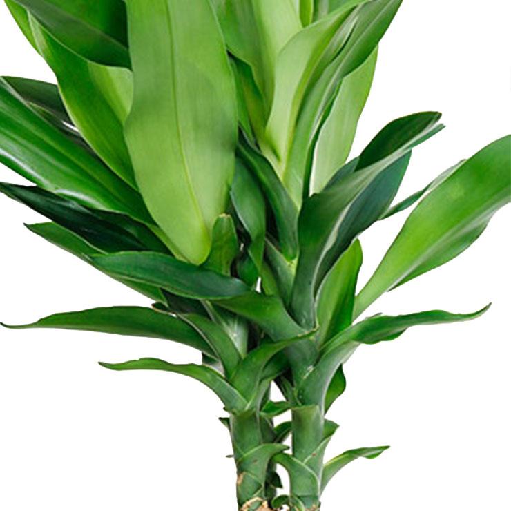 Pflegeleichte und robuste Zimmerpflanzen kaufen? - 123zimmerpflanzen