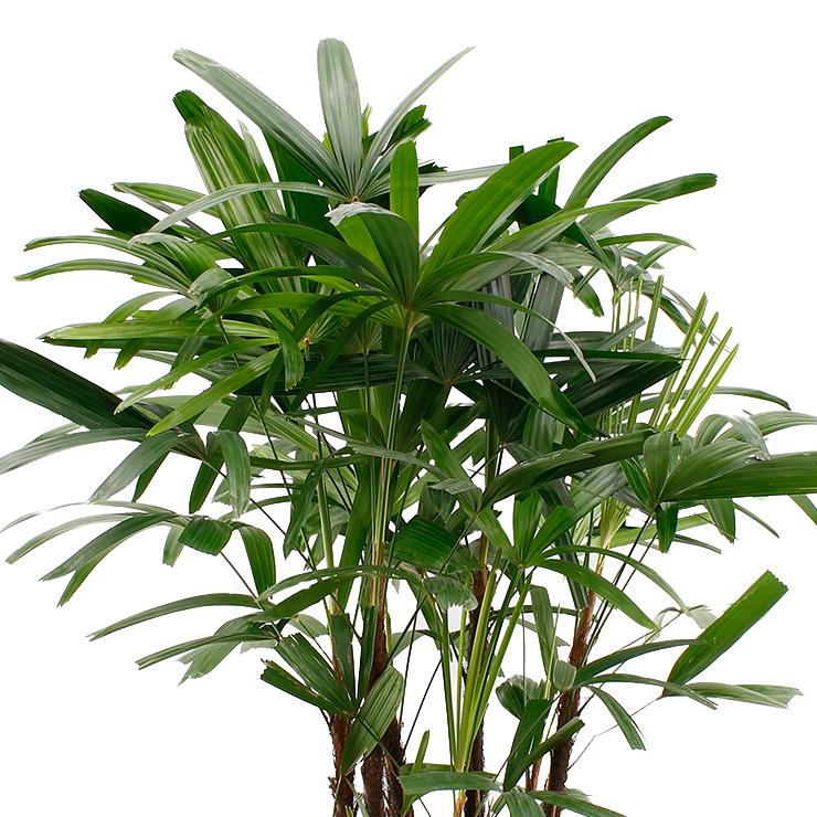 zimmerpflanzen geeignet f r im schatten 123zimmerpflanzen. Black Bedroom Furniture Sets. Home Design Ideas