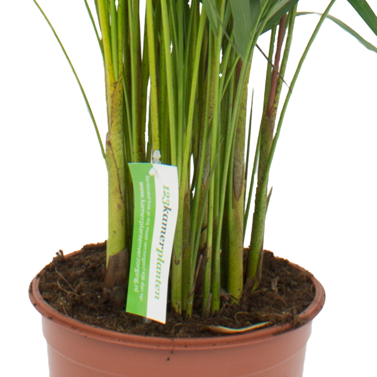 Nicht Giftige Areca Zimmerpflanzen kaufen