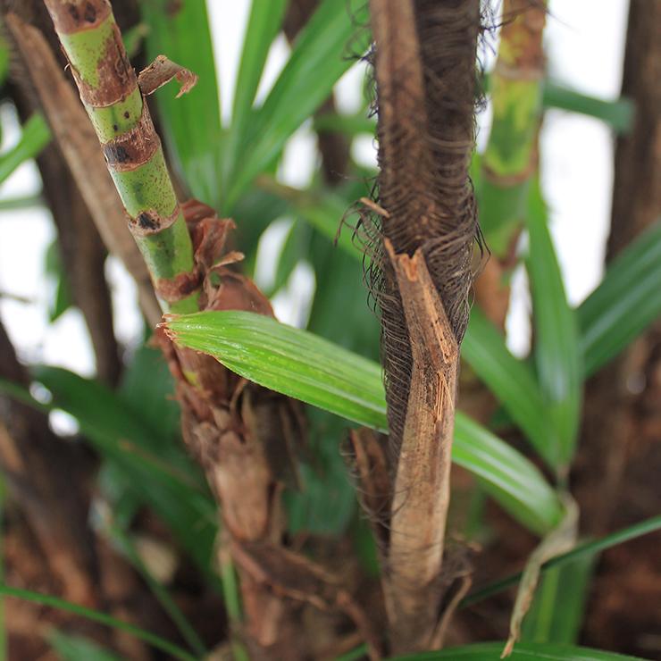 Nicht Giftige Zimmerpflanzen Rhapis kaufen