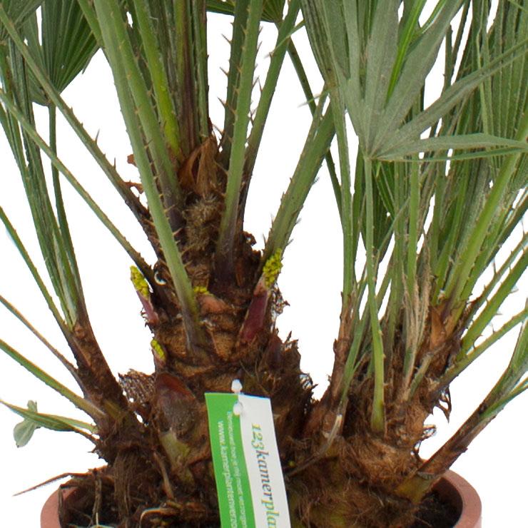 Nicht Giftige Zwergpalme Zimmerpflanzen kaufen