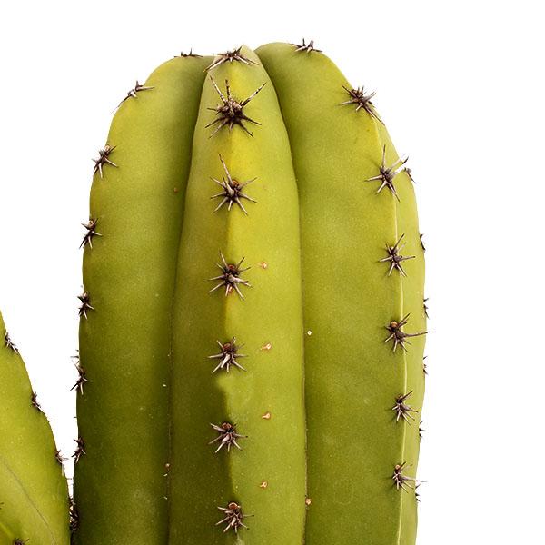 Kaktus kaufen