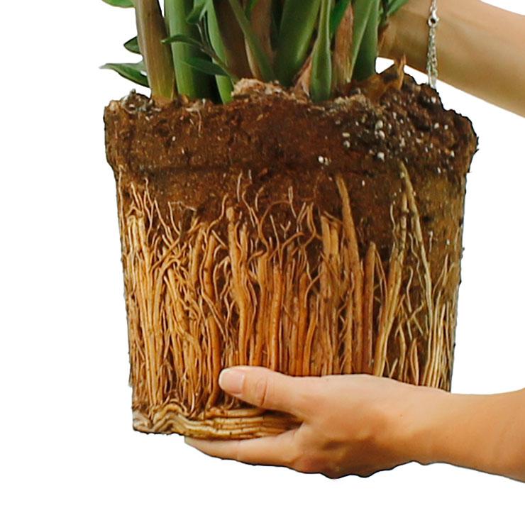 zimmerpflanzen die einen niedrigen wasserbedarf haben. Black Bedroom Furniture Sets. Home Design Ideas